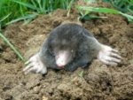 How to effectively get rid of moles